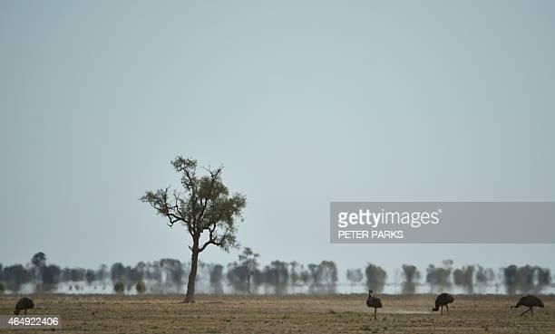 AustraliaweatherdroughtfarmingFEATURE by Glenda KWEK In this photo taken on February 12 emus an Australian flightless bird look for food in the dry...