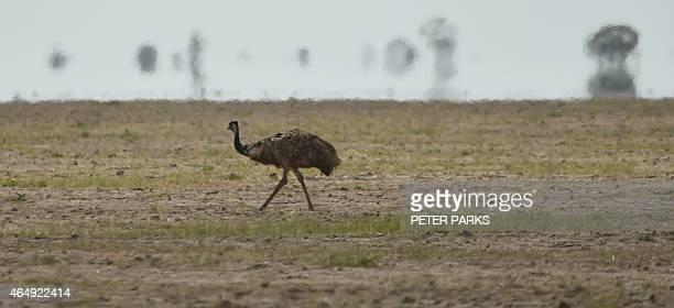 AustraliaweatherdroughtfarmingFEATURE by Glenda KWEK In this photo taken on February 12 an emu an Australian flightless bird looks for food in the...