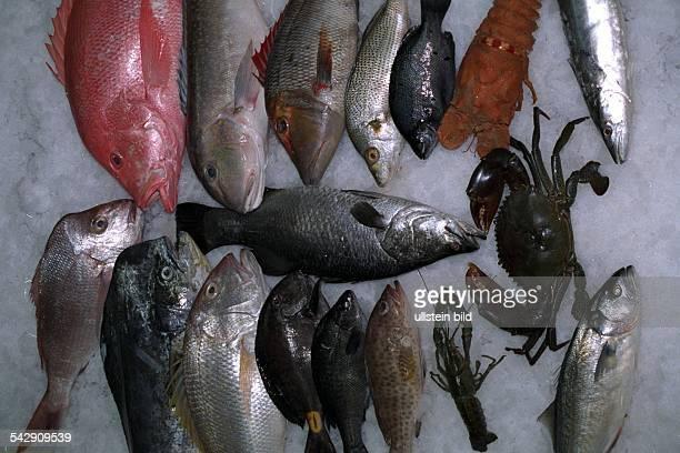 Australische Fische extra zur Olympiade aus Brisbane eingeflogen Knobby Head oder Mahi Mahi Gold Band Snapper oder King Snapper Doktor Fisch Silver...