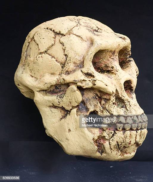 Australopithecus Afarensis A hominid that lived between 39 and 29 million years ago A afarensis was slenderly built like the younger Australopithecus...
