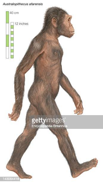 Australopithecus Afarensis The Southern Ape Which Lived From 38 To 29 Million Years Ago