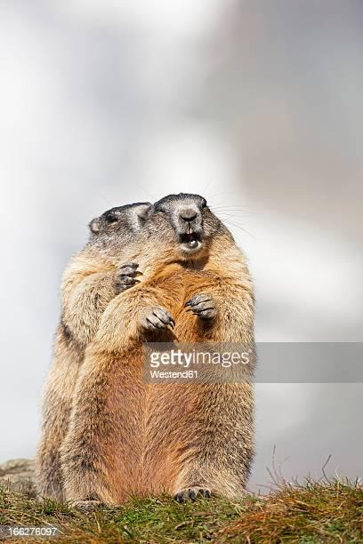 austria, alpine marmots (marmota marmota) - woodchuck stockfoto's en -beelden