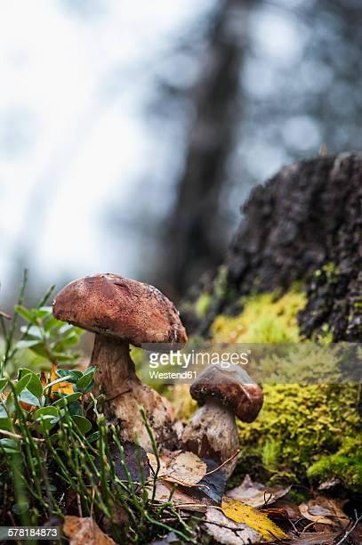 Austria, Altenmarkt-Zauchensee, boletuses in a forest