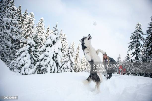 austria, altenmarkt-zauchensee, young woman with dog in winter forest - sled dog stock pictures, royalty-free photos & images