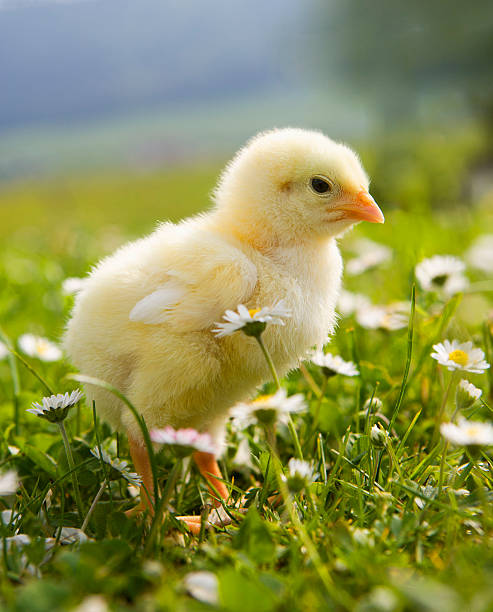Austria, Baby Chicken In Meadow, Close Up Wall Art