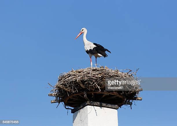 Austria, Burgenland, Apetlon, white stork, Ciconia ciconia, standing on nest