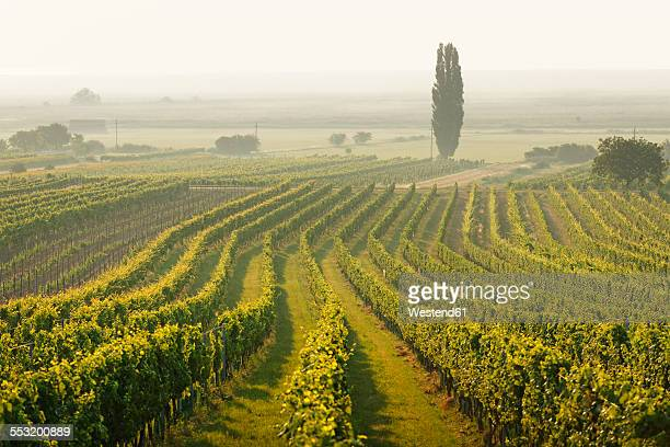 Austria, Burgenland, vineyards at Lake Neusiedl between Oggau and Rust