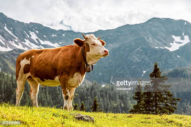 Austria, Carinthia, Fragant, cow on alpine pasture
