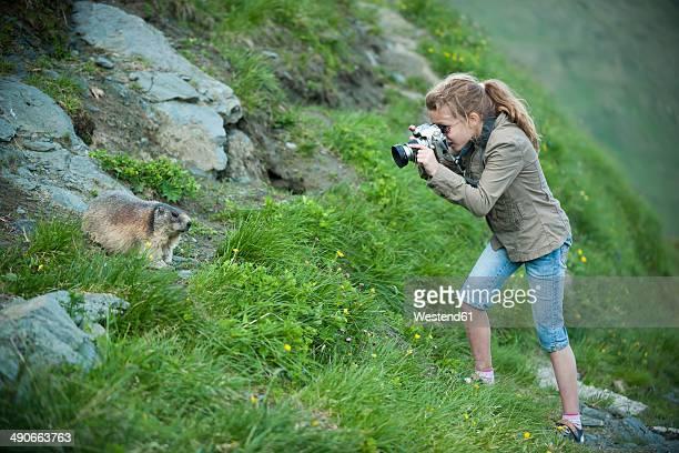 austria, carinthia, kaiser-franz-josefs-hoehe, girl photographing alpine marmot (marmota marmota) - marmota imagens e fotografias de stock