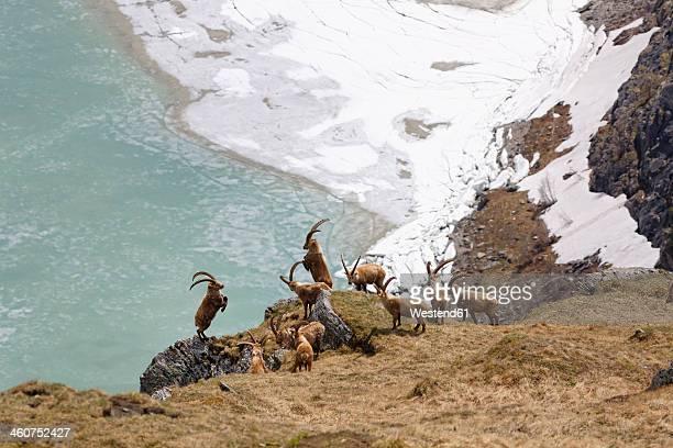 Austria, Carinthia, View of Alpine Ibex