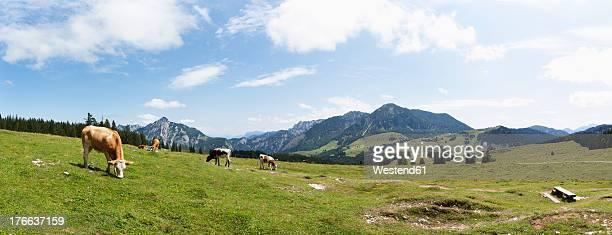 Austria, Cow grazing on alp pasture at Postalm