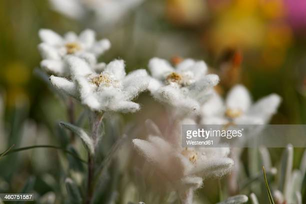 Austria, Edelweiss flowers, close up