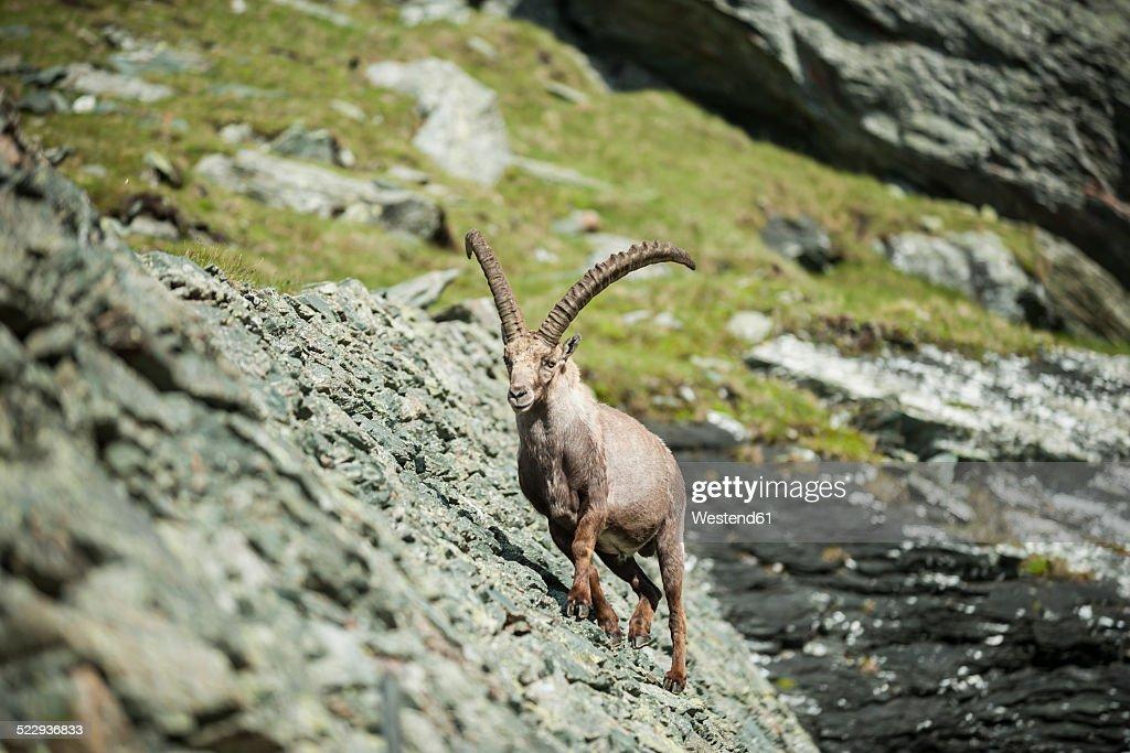Austria, Grossglockner, Alpine Ibex, Capra ibex : Stock Photo