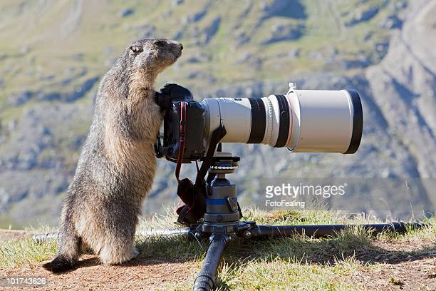 austria, grossglockner, alpine marmot (marmota marmota) standing by camera - funny groundhog stock photos and pictures