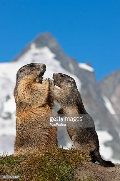 austria, grossglockner, alpine marmots (marmota marmota) - funny groundhog stock photos and pictures