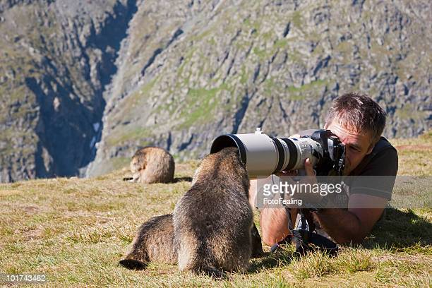 austria, grossglockner, man taking photograph of alpine marmots (marmota marmota) - funny groundhog stock photos and pictures