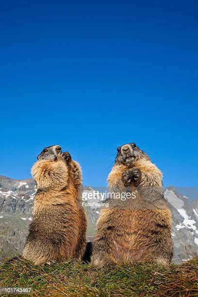 austria, grossglockner, marmots (marmota marmota) - funny groundhog stock photos and pictures
