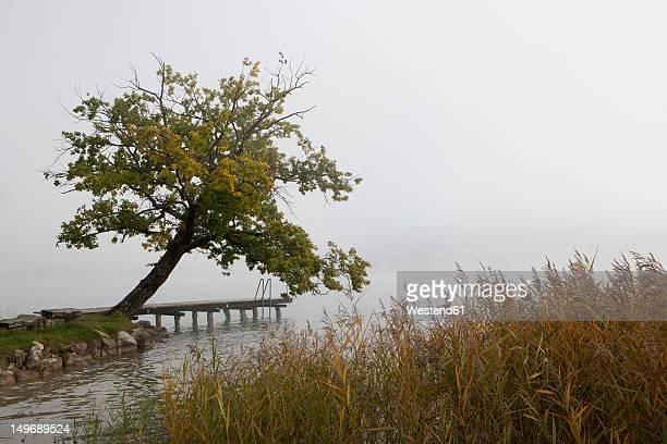 Austria, Irrsee, View of oak tree in fog