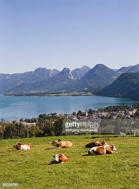 Austria, Lake Wolfgangsee, St. Gilgen, Cattle herd in foreground