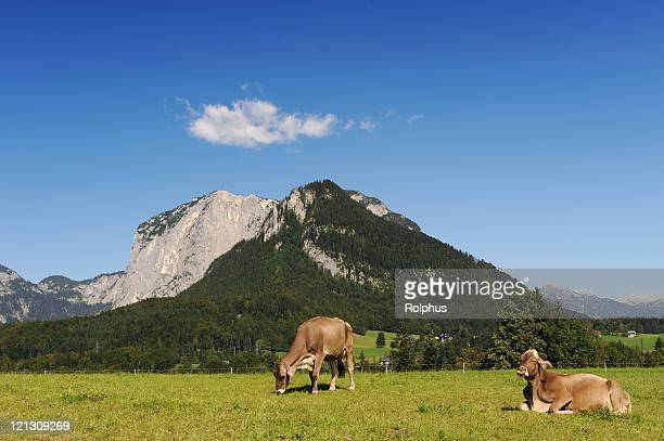 austria landscape with relaxing cows near bad aussee summer - sonnig stock pictures, royalty-free photos & images