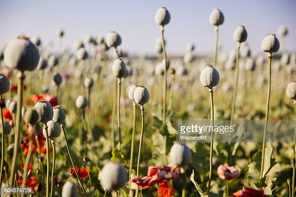 austria, lower austria, field of poppies, poppy seed capsules, unripe - opium stock pictures, royalty-free photos & images
