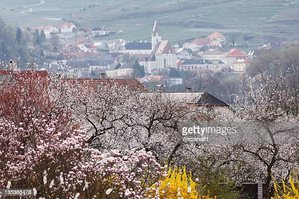 austria, lower austria, wachau, spitz, view of town with apricot blossoms in foreground - apricot tree stock pictures, royalty-free photos & images