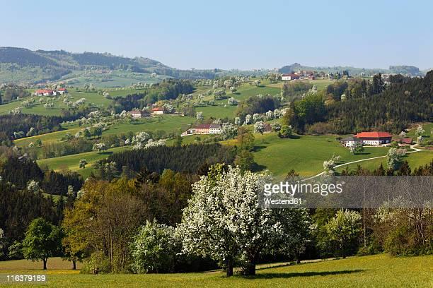 Austria, Lower Austria, Waldviertel, Mostviertel, Biberbach, View of blossoming pear trees