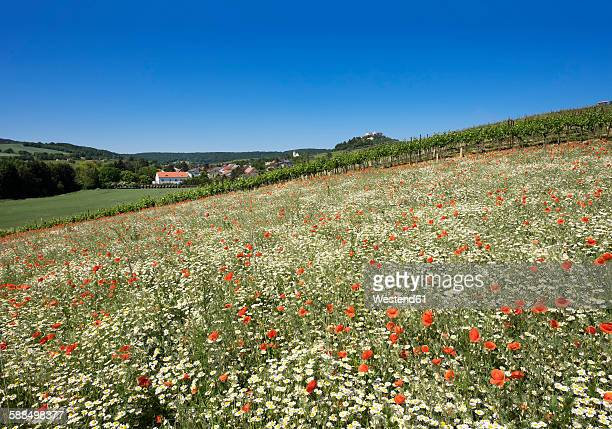 Austria, Lower Austria, Weinviertel, Falkenstein, View to Falkenstein Castle, flower meadow with poppies and marguerites