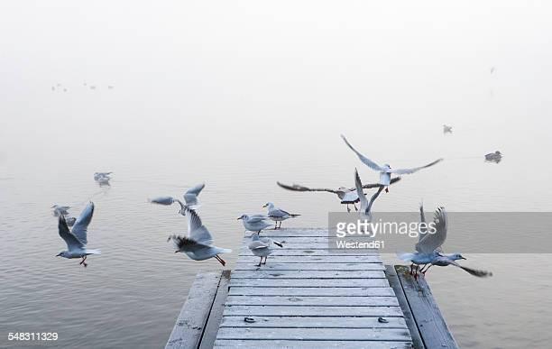 Austria, Mondsee, seagulls in morning mist