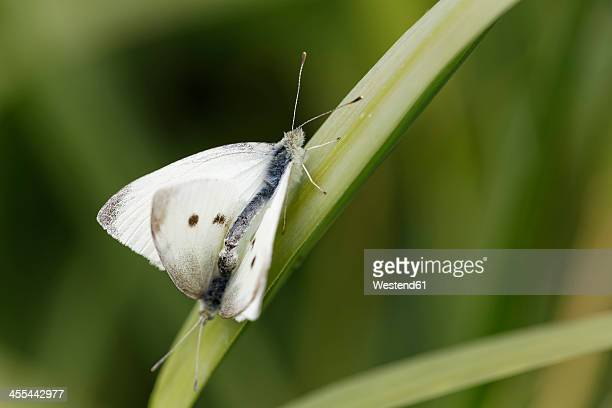 austria, pieris rapae in nationalpark neusiedler see seewinkel - nationalpark stock pictures, royalty-free photos & images