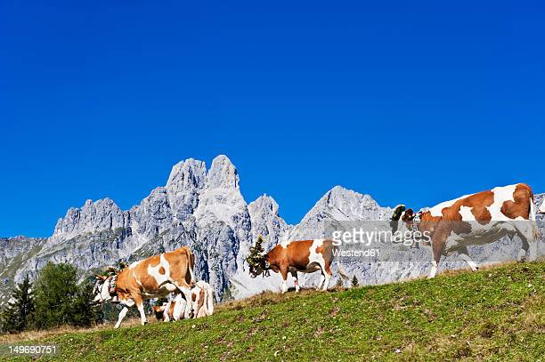 Austria, Salzburg County, Cows on alpine pasture in front of Mount Bischofsmutze
