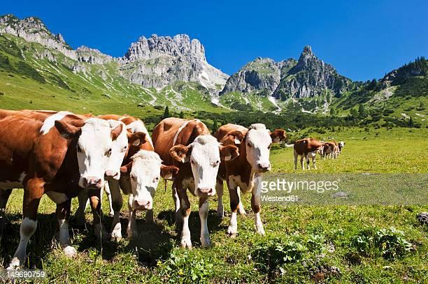 austria, salzburg county, cows on alpine pasture in front of mount bischofsmutze - grupo mediano de animales fotografías e imágenes de stock