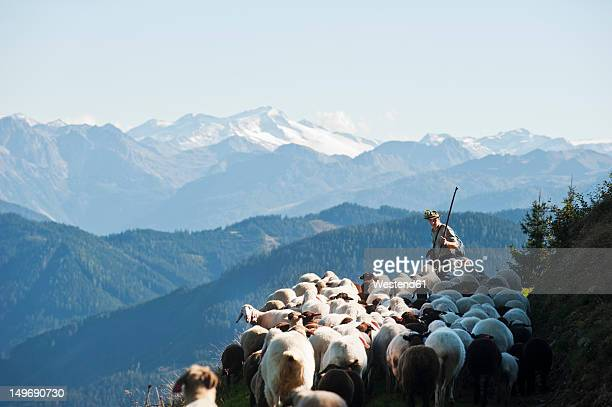 austria, salzburg county, shepherd herding sheep on mountain - herder stock photos and pictures