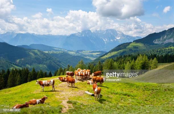 austria, salzburg state, tennengau, sankt koloman, cows - pascolo foto e immagini stock