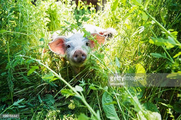 Austria, Salzburg State, Untertauern, Pongau, young domestic pig, free-range