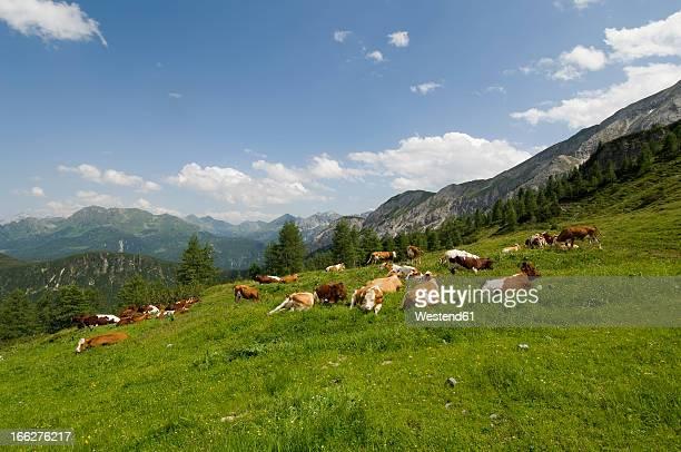 austria, salzburger land, herd of cattle grazing in a field - viehweide stock-fotos und bilder