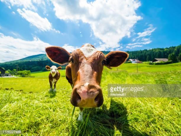 austria, salzkammergut, cow on meadow, looking at camera - viehweide stock-fotos und bilder
