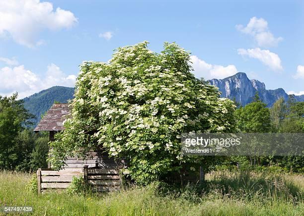 Austria, Salzkammergut, Mondsee, blooming elder bush