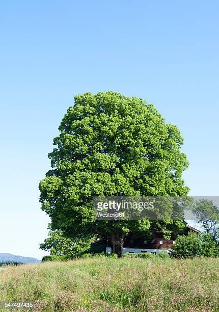 Austria, Salzkammergut, Mondsee, linden tree at farm house