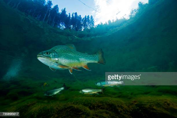 Austria, Styria, char and rainbow trouts in Lake Grueblsee