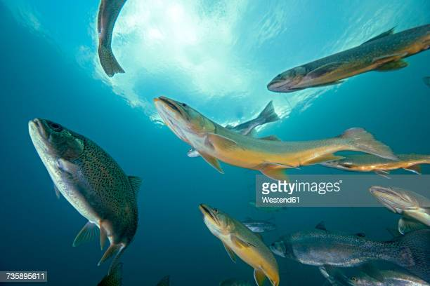 austria, styria, chars and rainbow trouts in lake grueblsee - freshwater stock pictures, royalty-free photos & images