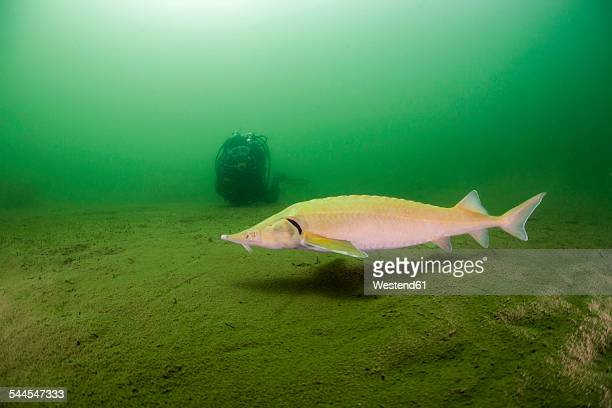 austria, styria, grueblsee, diver and sterlet - sturgeon stock pictures, royalty-free photos & images