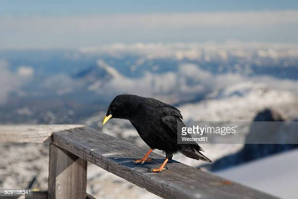 Austria, Styria, Ramsau am Dachstein, Dachstein Mountains, Alpine chough, Pyrrhocorax graculus