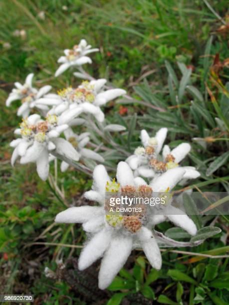 Austria, Tirol, edelweiss Leontopodium alpinum