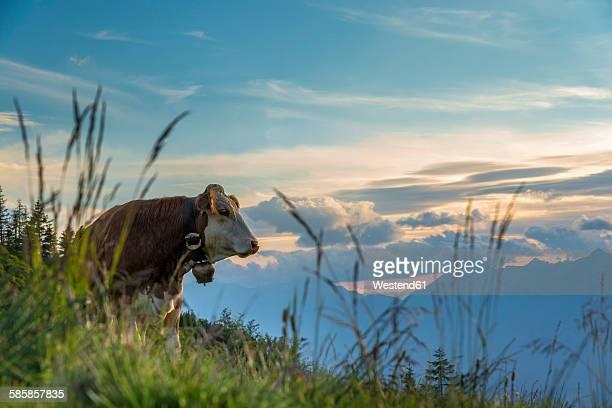 Austria, Tyrol, cow on alpine pasture