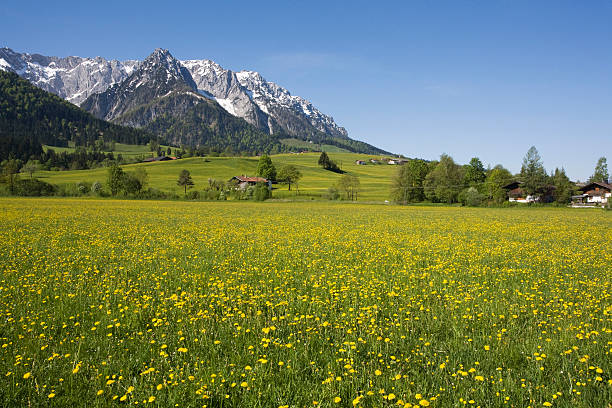Austria, Tyrol, Kaisergebirge, Dandelion Meadow In Spring Wall Art
