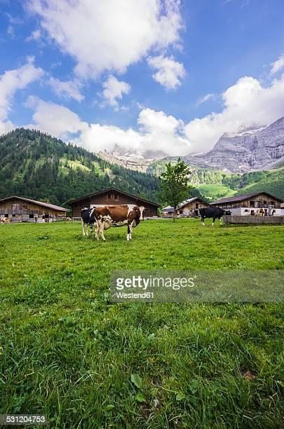Austria, Tyrol, Karwendel mountains, Grosser Ahornboden, Engalm, Cows
