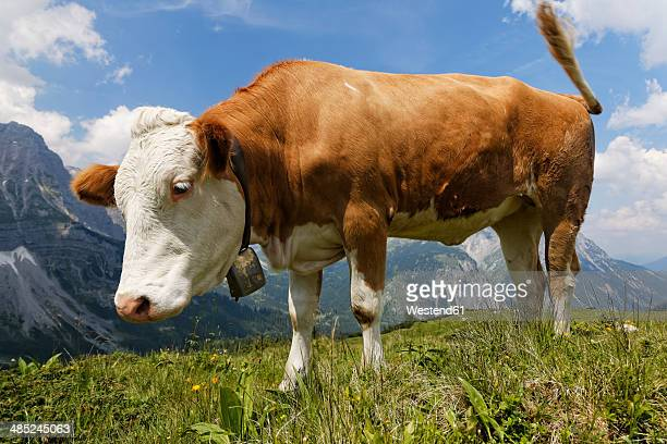 austria, tyrol, karwendel range, ahornboden region, cow on pasture - karwendel mountains stock pictures, royalty-free photos & images