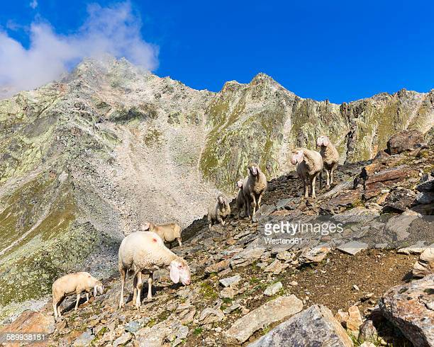 Austria, Tyrol, Oetztal, flock of sheep at Gaislachkogel