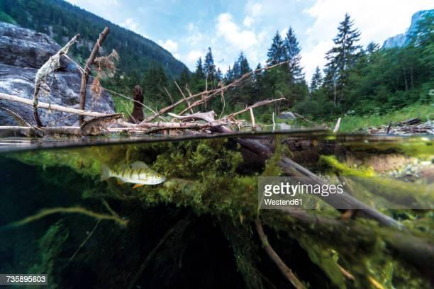 Austria, Upper Austria, Lake Gosausee with perch